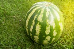 Summer, party, striped watermelon lying on the grass prepared for a summer party with friends, close-up. Image closeup agriculture background circle food fruit stock images