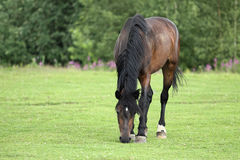 Summer pasture. Young Trakehner stallion in the summer pasture Royalty Free Stock Photography