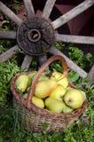 Summer pear fruit in wicker basket in garden Royalty Free Stock Photography
