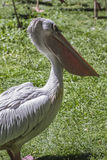 Summer pelican, bird with huge beak Royalty Free Stock Photo