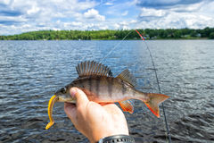 Summer perch caught on softbait Royalty Free Stock Photos