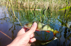 Summer perch fishing bait. Fishing on freshwater lakes in the reeds royalty free stock images