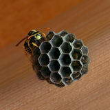 Summer Pest. A paper wasp working on a nest in a freshly constructed shed Royalty Free Stock Image