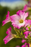 Summer Petunias Stock Photo