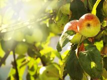 Summer photo of apple tree Royalty Free Stock Images