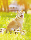 Summer photo happy dog Shiba Inu Royalty Free Stock Photo