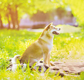 Summer photo happy joyful dog Shiba Inu Royalty Free Stock Image