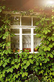 Summer photo of old house window with ivy plant. Around Royalty Free Stock Image