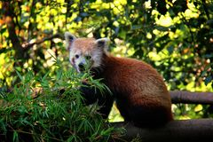 Red panda eating on the branch. stock photos