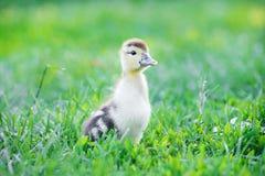 Summer picture of a cute duckling walking in a summer garden stock photos