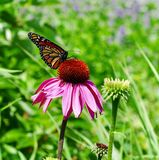 Monarch Butterfly On A Cone Flower royalty free stock images