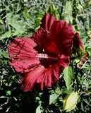 Red Hardy Hibiscus. This is a Summer picture of a Red Hardy Hibiscus in Grant Park located in Chicago, Illinois in Cook County. This picture was taken on August royalty free stock photography