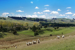 Summer picturesque landscape with herd of sheep Stock Photo