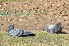 Summer pigeon. Two pigeon on the ground to have summer light Stock Image