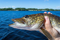 Summer pike fish portrait Stock Images
