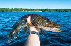 Summer pike trophy Royalty Free Stock Images