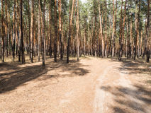 Summer pine forest on bright Sunny day. Unpaved, sandy road through the tall pines. Shadows from the bright midday sun. Stock Image