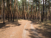 Summer pine forest on bright Sunny day. Unpaved, sandy road through the tall pines. Shadows from the bright midday sun. Stock Photo