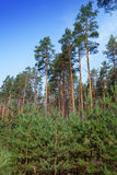 Summer pine forest Royalty Free Stock Photo