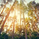 Summer pine forest Royalty Free Stock Image