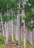 Summer pine forest on hill Stock Photos