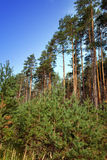 Summer pine forest Stock Images
