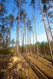 Summer pine forest Royalty Free Stock Photography