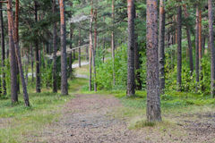 Summer pine forest and path Stock Photo