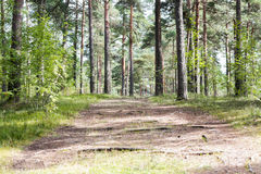 Summer pine forest and path Stock Photography