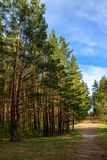 Summer pine forest with path. Pine forest with a path on a Sunny summer day royalty free stock photography