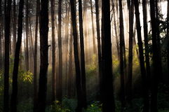Summer pine forest Stock Photography