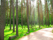 Summer pine forest with sun light Stock Image