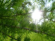 Summer Pine Tree With The Sun Behind royalty free stock photo