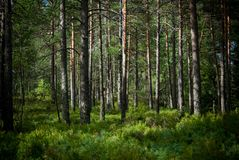 Summer in the pinetree forest Royalty Free Stock Photos