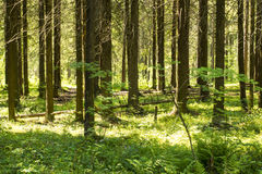 Summer pinewood Stock Image