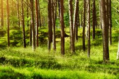 Summer pinewood. Scots or Scotch pine Pinus sylvestris trees in evergreen coniferous forest. Stegna, Pomerania, northern Poland Royalty Free Stock Photos