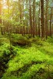 Summer pinewood. Scots or Scotch pine Pinus sylvestris trees in evergreen coniferous forest. Stegna, Pomerania, northern Poland Stock Photo