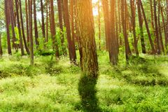 Summer pinewood. Scots or Scotch pine Pinus sylvestris trees in evergreen coniferous forest. Stegna, Pomerania, northern Poland Royalty Free Stock Image