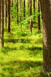 Summer pinewood with young oak tree. Scots or Scotch pine Pinus sylvestris trees in evergreen coniferous forest. Stegna, Pomerania, northern Poland Royalty Free Stock Image