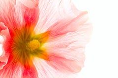 Summer pink  flower Stock Photo