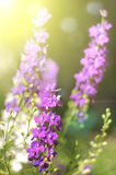 Summer pink flowers Royalty Free Stock Images