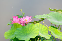 Summer pink lotus Royalty Free Stock Photo
