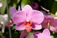 Summer pink orchid Stock Images