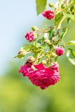 Summer Pink Rose Royalty Free Stock Photo