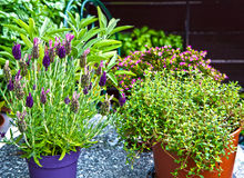 Summer plants on the balcony, lavender,sage,thyme Stock Photography