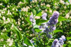 Beautiful lilac blooms in the garden royalty free stock photography