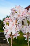 Beautiful pink rhododendron blooms in the garden. Summer plants bloom in my garden stock images