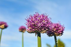 Flower of onions against the blue sky. Summer plants bloom in my garden stock image