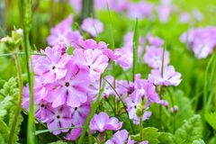 Little pink primula flowers bloom in the garden. Summer plants bloom in my garden royalty free stock images