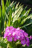 Pink primula on the background of iris stems. Summer plants bloom in my garden royalty free stock photography
